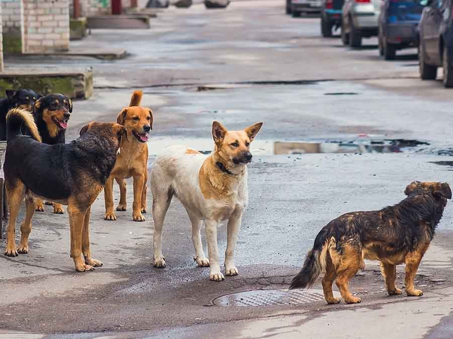 A group of stray dogs