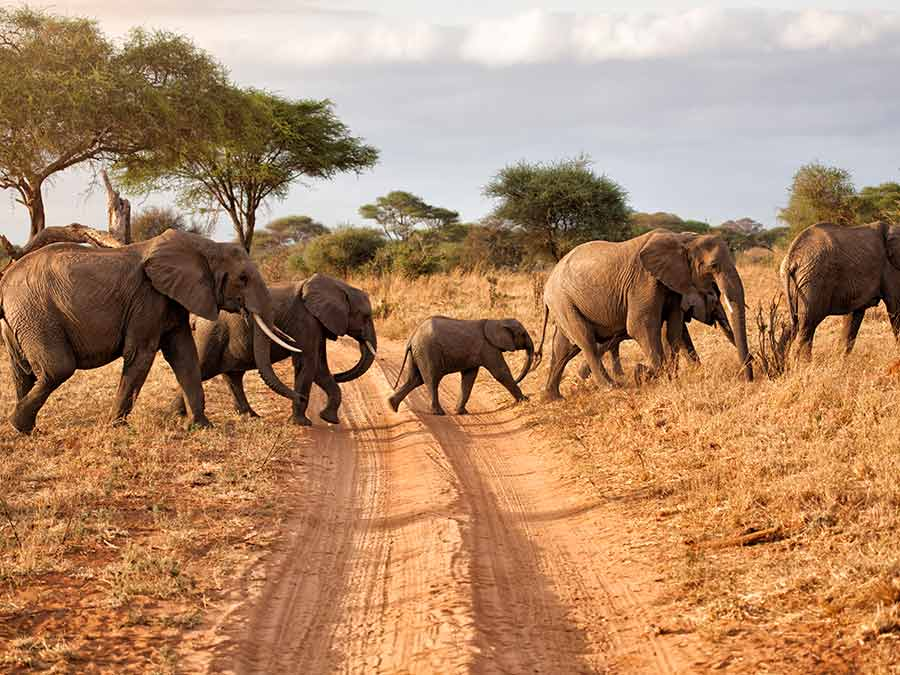 A group of elephants crossing